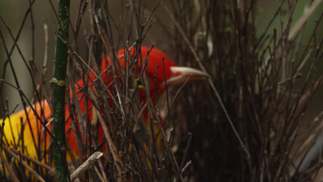 flame bowerbird adds stick to his bower - bird's nest stock videos & royalty-free footage