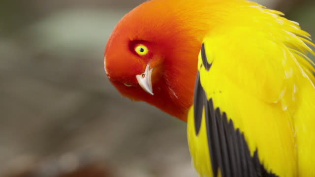 stockvideo's en b-roll-footage met flame bowerbird displays to female - infaden