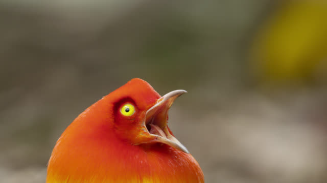 flame bowerbird displays to female - animal call stock videos & royalty-free footage