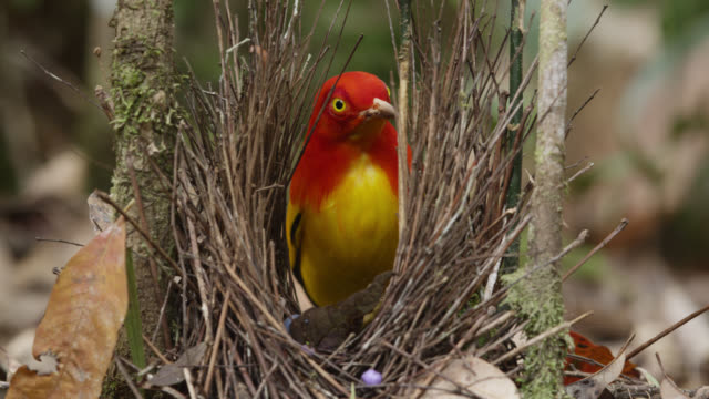 flame bowerbird paints his bower - bird's nest stock videos & royalty-free footage