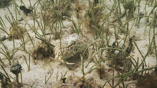 flame box crab - sea grass plant stock videos & royalty-free footage