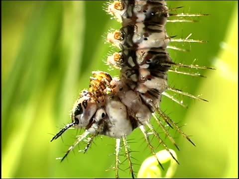 flame butterfly caterpillar hangs upside down as it prepares to pupate - invertebrate stock videos & royalty-free footage