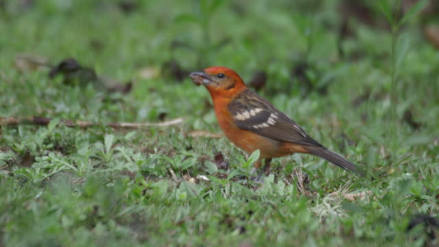 stockvideo's en b-roll-footage met a flame coloured tanager (piranga bidentata) eats seeds from the forest floor. - pikken