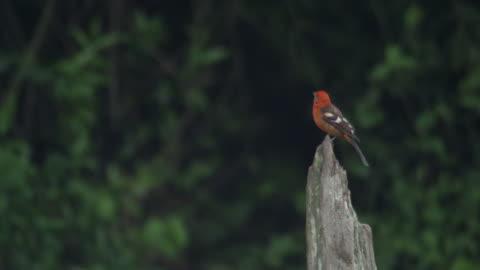 a flame coloured tanager (piranga bidentata) perches on a broken tree trunk. - baumstumpf stock-videos und b-roll-filmmaterial