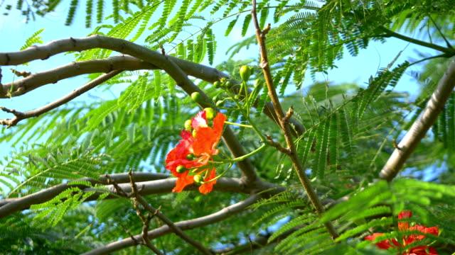 Flame tree in bloom in slow motion in 4k
