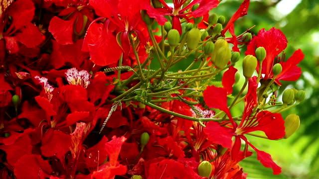 flame tree in bloom - kvist bildbanksvideor och videomaterial från bakom kulisserna