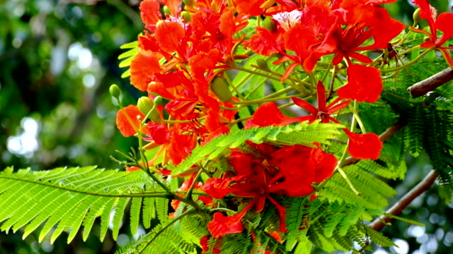flame tree - tropical tree stock videos & royalty-free footage