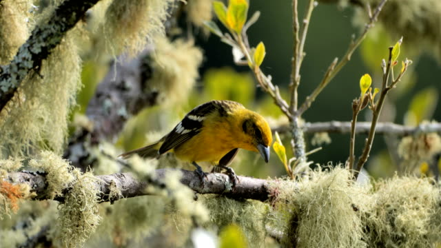 flame-colored tanager from costa rica - america centrale video stock e b–roll