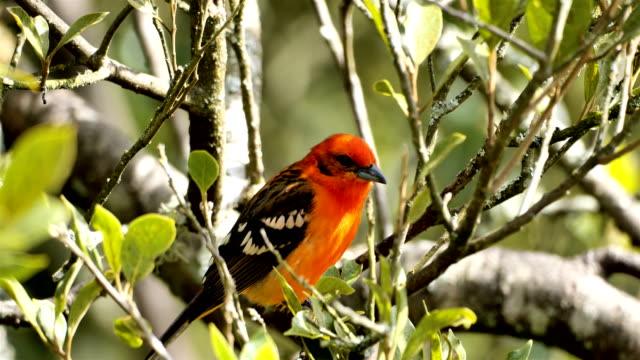 flame-colored tanager from costa rica - biodiversity stock videos & royalty-free footage