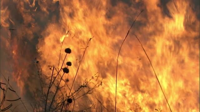 flames consume grasses as wild fire burns on savannah, uganda - hd format stock videos & royalty-free footage