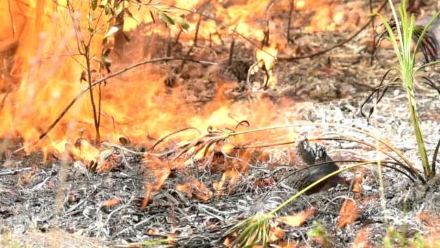 Flames in dry grass and pine needs burning up Saw Palmetto