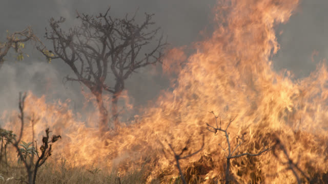 flames lick at tree on cerrado. - waldbrand stock-videos und b-roll-filmmaterial