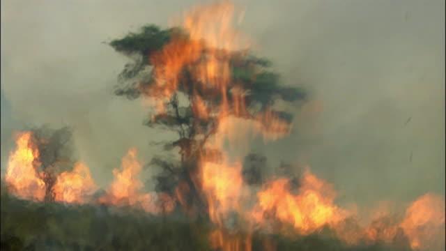 flames surround acacia tree as wild fire burns on savannah, uganda - acacia tree stock videos & royalty-free footage