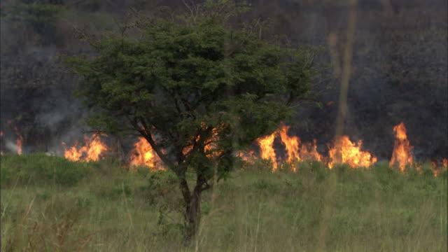 flames surround acacia tree as wild fire burns on savannah, uganda - single tree stock videos & royalty-free footage