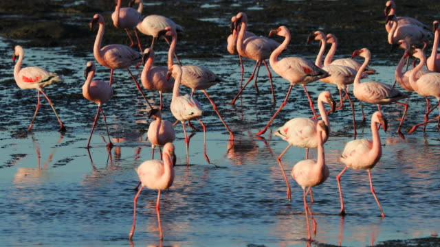 flamingo at walvis bay wetland - zimbabwe stock videos and b-roll footage