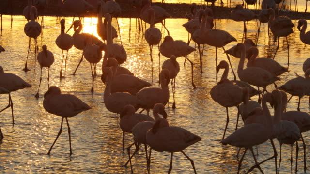 flamingo at walvis bay wetland - flamingo bird stock videos & royalty-free footage
