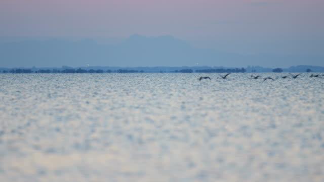 flamingo bird flock flying sunset water france camargue - water bird stock videos & royalty-free footage
