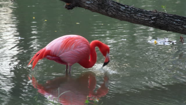 flamingo bird in a natural lake or pond. the pink bird is in the wilderness but in an area for practising eco tourism. 'mayajigua lakes', sancti spiritus,cuba - eco tourism stock videos & royalty-free footage