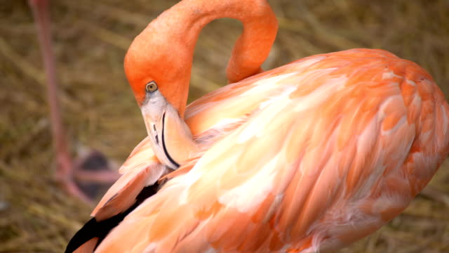 Flamingo fågel