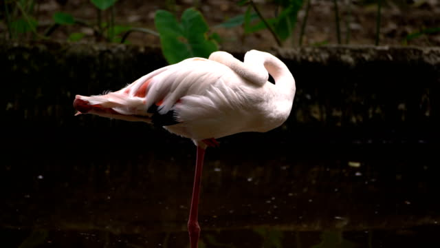 flamingo bird - flamingo bird stock videos & royalty-free footage