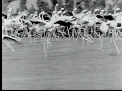 1948 b/w ws pan flamingo birds running at hialeah race track / miami, florida, usa - hialeah stock videos & royalty-free footage