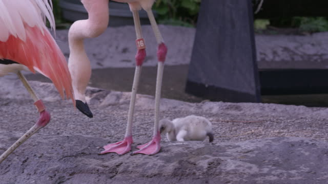 flamingo chick following parents to waters edge - flamingo chick stock videos & royalty-free footage