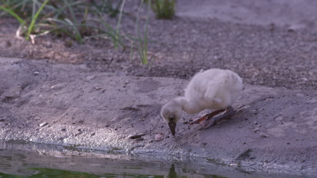 flamingo chick on edge of a pond looking at the water - flamingo chick stock videos & royalty-free footage