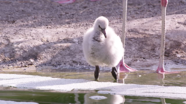 flamingo chick wading in pool of water - flamingo chick stock videos & royalty-free footage