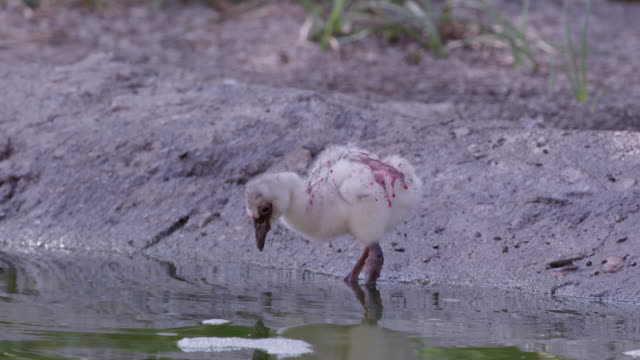 flamingo chick wading in water covered in red crop milk - flamingo chick stock videos & royalty-free footage