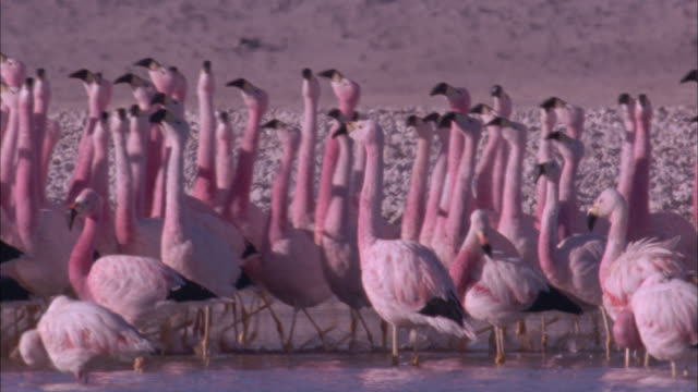 Flamingo courtship dance in soda lake Available in HD.