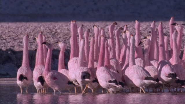 flamingo courtship dance in soda lake available in hd. - flamingo bird stock videos & royalty-free footage