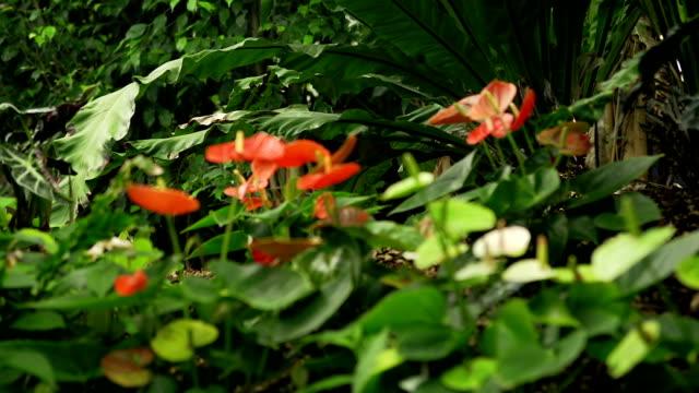 flamingo flower - anthurium stock videos & royalty-free footage