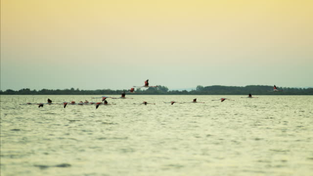 Flamingo flying at sunset over water France Camargue
