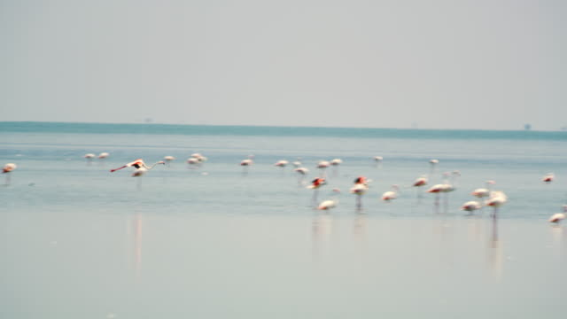 pan flamingo flying in the lagoon - water bird stock videos & royalty-free footage
