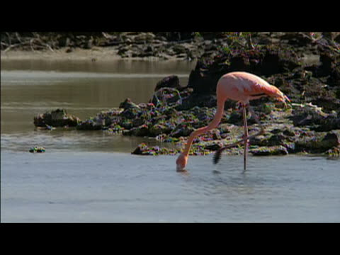 flamingo foraging in lagoon / galapagos islands - foraging stock videos and b-roll footage