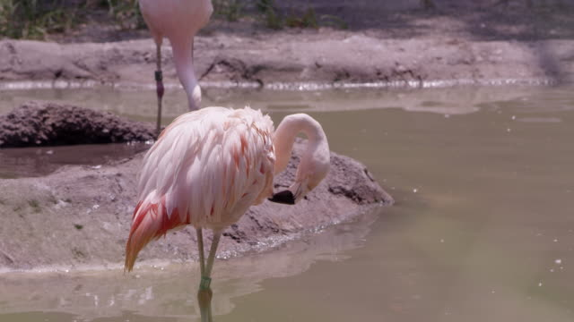 flamingo grooming itself - flamingo chick stock videos & royalty-free footage