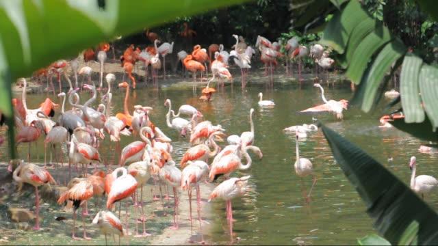vídeos de stock, filmes e b-roll de flamingo em lake - banana de são tomé