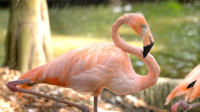 vidéos et rushes de flamant rose dans des pluies - grâce
