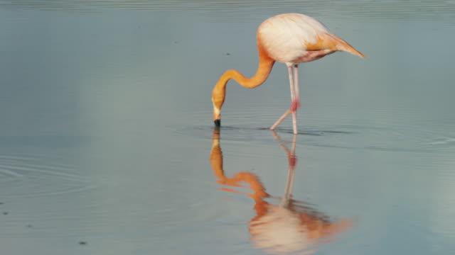 Flamingo in the Galapagos
