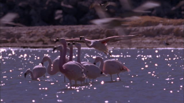 Flamingo lands in soda lake Available in HD.