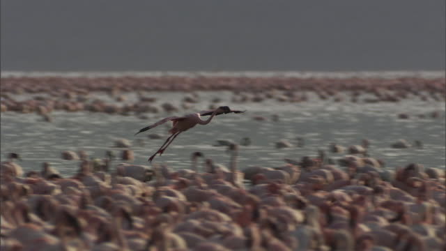 a flamingo lands with its flock at lake tanganyika. - flock of birds stock videos & royalty-free footage