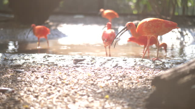 flamingo on the lake - flamingo chick stock videos & royalty-free footage