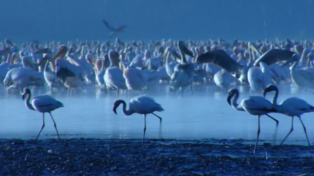 ws, flamingo (phoenicopterus roseus) passing flock of pelican (pelecanus onocrotalus) in lake nakuru, lake nakuru national park, rift valley, kenya - 水生生物 個影片檔及 b 捲影像