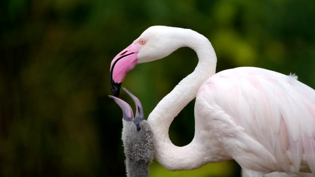 flamingo, phoenicopteridae, with chick, portrait - flamingo chick stock videos & royalty-free footage
