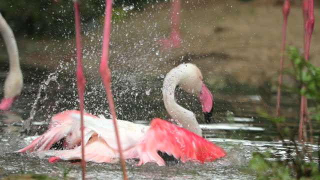 flamingo playing in the lake , slow motion - flamingo chick stock videos & royalty-free footage