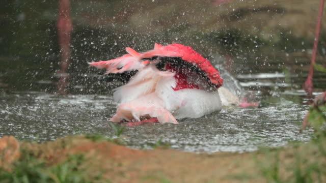 Flamingo im See, Zeitlupe spielen