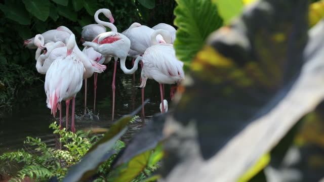 flamingo playing in the lake, slow motion - flamingo chick stock videos & royalty-free footage