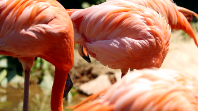 flamingo playing in the lake - flamingo chick stock videos & royalty-free footage