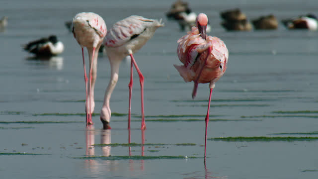 a flamingo preening in shallow water - wide shot - walking in water stock videos & royalty-free footage