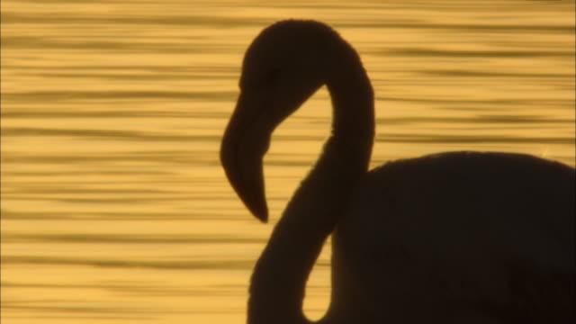 ms  cu  flamingo preening into body  / doí±ana national park, huelva & sevilla, spain - preening animal behavior stock videos & royalty-free footage